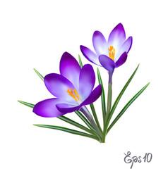 Crocus flowers elegant vintage card vector
