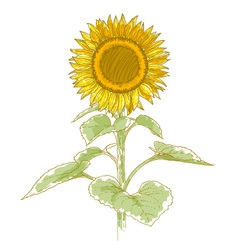 Hand-drawing sunflower vector