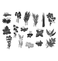 spices and herbs isolated icons vector image