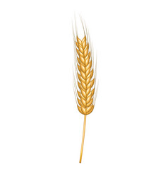 wheat in gold design vector image