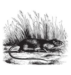 Spiny rat vintage vector