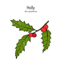 Holly ilex aquifolium tree branch vector
