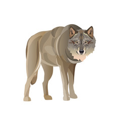 Gray wolf standing vector