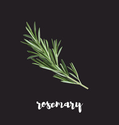 Rosemary herb isolated on a black background vector