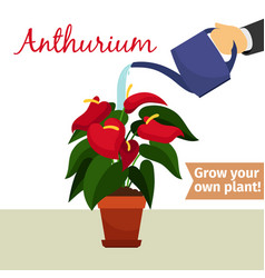 Hand watering anthurium plant vector