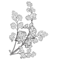 coriander leaves hand drawn on white background vector image