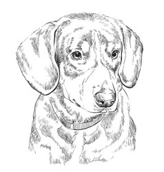 Entlebucher mountain dog hand drawing portrait vector