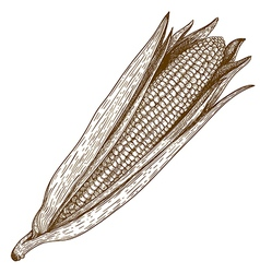 engraving corn vector image