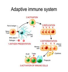 Adaptive immune system from antigen presentation vector
