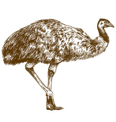 Engraving drawing of ostrich emu vector