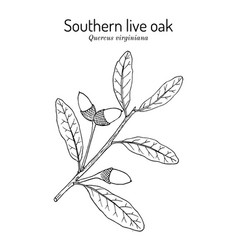 Southern live oak quercus virginiana state tree vector