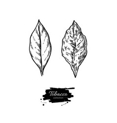 tobacco leaf drawing fresh and dried vector image