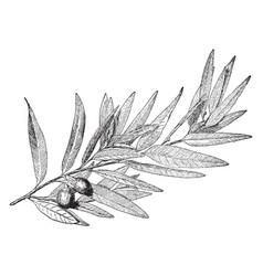 California laurel vintage vector