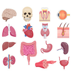 internal human anatomy organ icon set vector image