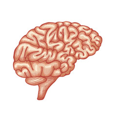 engraving brain hand drawn vector image