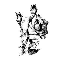 flower rose black ink drawing vector image