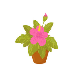 houseplant with pink flowers and wide green leaves vector image