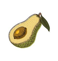 tropical avocado evergreen fruit plant organic vector image