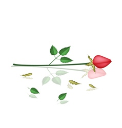 A Lovely Red Roses Laying on White Background vector image