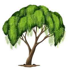 A Californian pepper tree vector