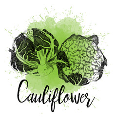 cauliflower pictured in hand drawn graphi vector image