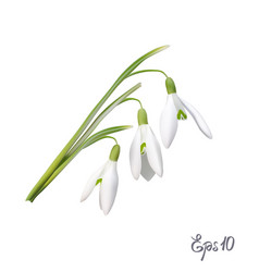The first snowdrops galanthus vector