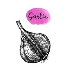 ink sketch of garlic vector image