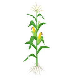 Maize plant isolated on white background with vector