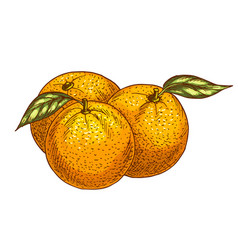 orange or tangerine fruits sketch icon vector image