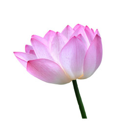 A lotus in realistic style vector