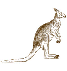 Engraving drawing big kangaroo vector