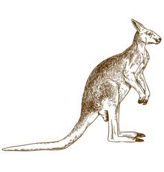 Engraving drawing of big kangaroo vector