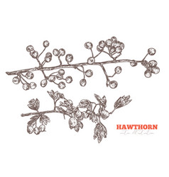 hand drawn branches hawthorn vector image