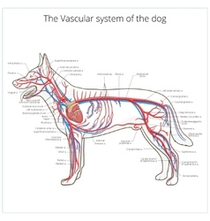Vascular system of the dog vector