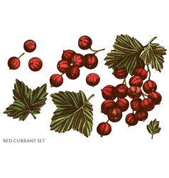 Set hand drawn colored red currant vector