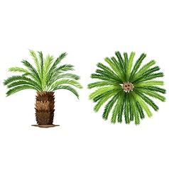 Sogo palm vector
