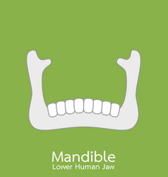 lower human jaw - mandible vector image