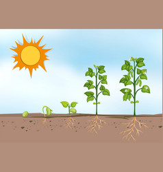 Plant growing at different stages vector
