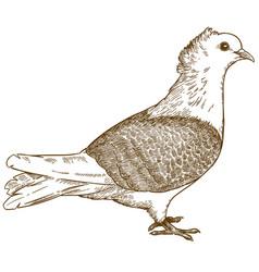 engraving of pigeon bird vector image