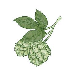 natural drawing of green fresh organic hop sprig vector image