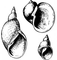 seashell lymnaeidae vector image