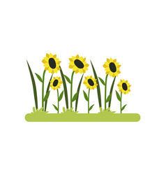 Sunflower field on a white vector