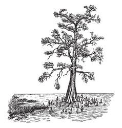 Bald cypress in swamp form vintage vector