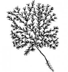 plant ceratocarpus vector image vector image