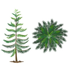 A Norfolk island plant vector image