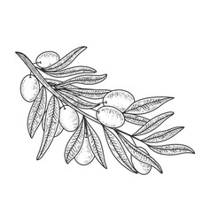 Olive branch sketch vector