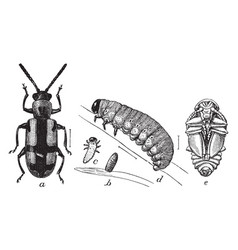 The life cycle of the asparagus beetle vintage vector