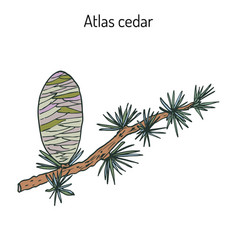 Branch of a atlas cedar cedrus atlantica vector