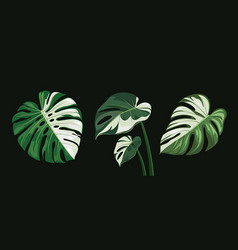 monstera leaves spotted collections design vector image