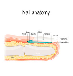 Nail anatomy vector